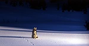 coyote-1106552__180