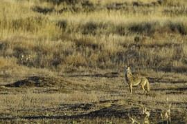 coyote-1169136__180