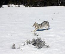 coyote-1174619__180
