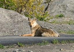 coyote-1819__180