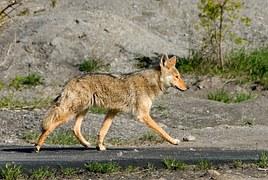 coyote-1820__180