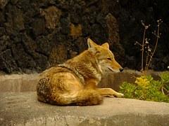coyote-235303__180