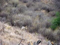 coyote-574634__180