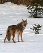 coyote-57490__180