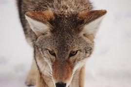 coyote-593160__180