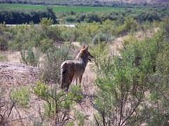 coyote-718023__180