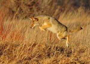 coyote-931142_960_720