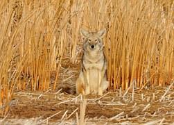 coyote-936708__180