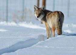 coyote-937008__180