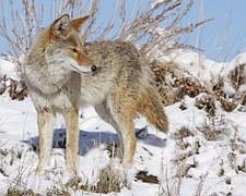 coyote-938482__180