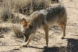 coyote-948675__180