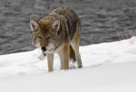 coyote-948795__180