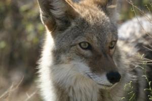 coyote-948799_960_720