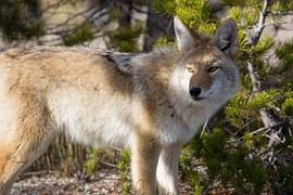 coyote-948817__180