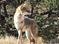coyote-956689__180