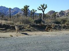 coyotes-246788__180