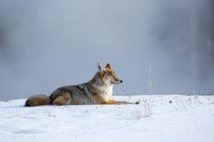 fox-1143632_960_720