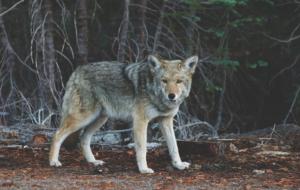 wolf-690102_960_720
